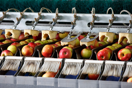 Clean and fresh apples on conveyor belt in food processing facility, ready for automated packing. Healthy fruits, food production and automated food industry concept. Archivio Fotografico