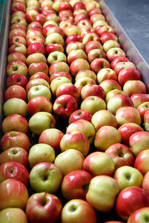 agriculture industrial: Ripe apples being processed and transported for size and color sorting and for packing in an industrial production facility. Healthy fruits, diet and food industry concept and textured background.