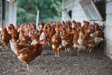 raising: Group of free-range chicken freely grazing outside of organic farm. Organic farming, animal rights, back to nature concept.