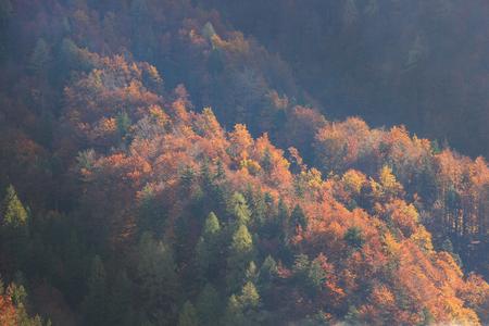 arbol de pino: bosque de la montaña de coníferas y de hoja caduca en los colores del otoño en una zona montañosa. Cambios de estación, el concepto de la luz solar único, textura de fondo.