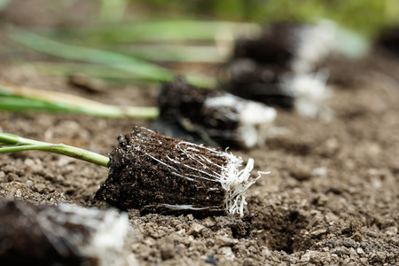 Closeup of leek seedlings lying on freshly ploughed garden bed, prepared for planting. Organic gardening, healthy food, agriculture nutrition and diet, background and concept. Zdjęcie Seryjne