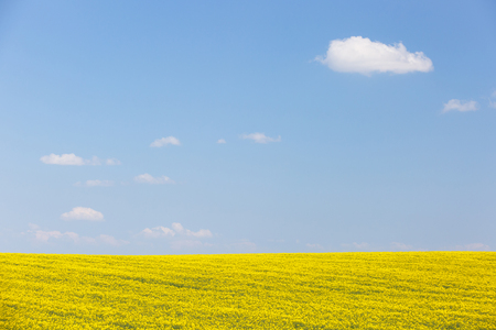 Extensive field of rapeseed with blue sky in the background. Intensive agricultural production, fuel dependency, agriculture and energy industry concept, background and copy space.