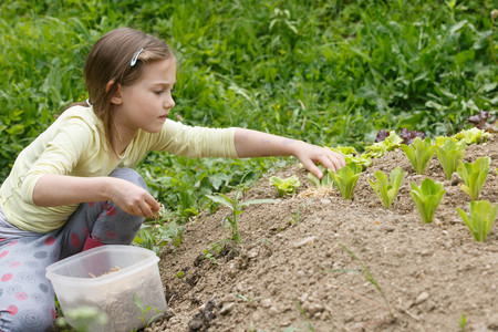 Little girl planting young salad seedlings in spring, helping with gardening. Education for life, home fun concept.