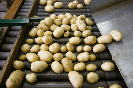 Fresh, cleaned and sorted potatoes on a conveyor belt. Automated agriculture, technology, drought prevention, industry, food production and farming concept. Stock fotó