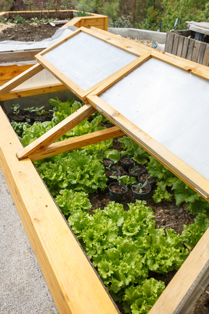 Homemade Greenhouse Raised Garden Bed With Young Lettuce And Other  Vegetables Being Grown. Modern Gardening
