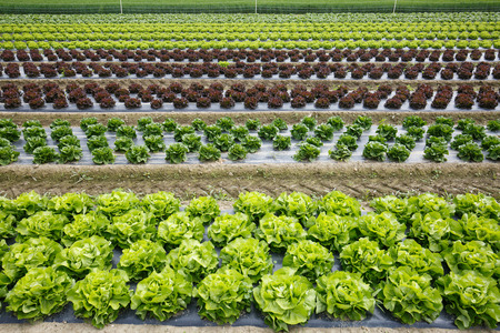 Field with rows of colorful, fully grown lettuce heads, ready for harvesting. Agriculture industry, fresh produce, mass production and commercial trade concept. Stock Photo