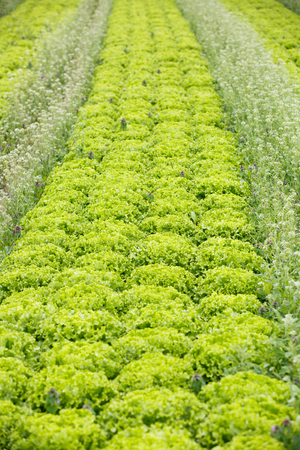 Field with rows of grown lettuce heads, ready for harvesting. Agriculture industry, fresh produce, mass production and commercial trade concept and textured background. Reklamní fotografie