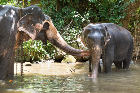Tourist Asian elephants in captivity, chained, abused for tourist trap. Animal rights, animal abuse, responsible tourism and ethics concept.