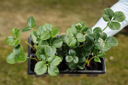 Young organic strawberry plants prepared to be planted on the garden. Organic gardening, healthy and homegrown food, self-supply concept. Banco de Imagens