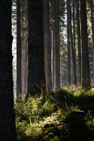 Forest of spruce trees and trunks in the morning sunshine. Sustainable industry, eco-friendly forestry, peace of mind and mindfulness concept and textured background. Banco de Imagens