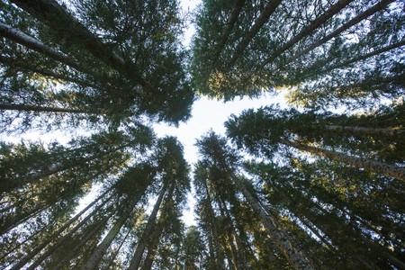 Forest canopy of dense spruce forest against blue sky, unique view from below. Sustainable industry, eco-friendly forestry, peace and silence concept and textured background.
