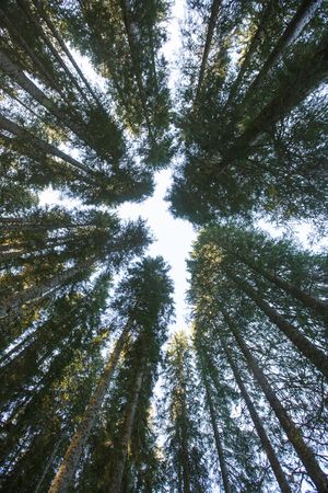 Forest canopy of dense spruce forest against blue sky, unique view from below. Sustainable industry, eco-friendly forestry, mindfulness concept and textured background.