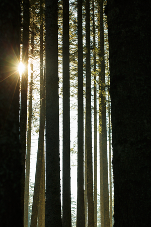 Forest of spruce trees and trunks in the morning sunshine. Sustainable industry, eco-friendly forestry, peace of mind and mindfulness concept and textured background. Imagens