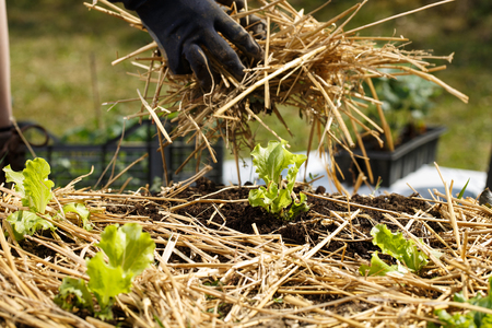 Gardener planting seedlings in freshly ploughed garden beds and spreading straw mulch. Organic gardening, healthy food, nutrition and diet, self-supply and housework concept. Imagens