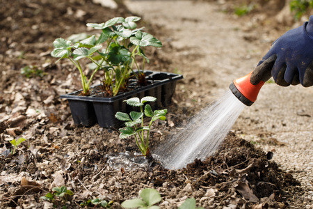 Gardener watering freshly planted seedlings in garden bed for growth boost with shower watering gun. Organic gardening, healthy food, nutrition and diet, self-supply and housework concept. Imagens