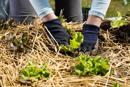 Gardener planting lettuce seedlings in freshly ploughed and straw mulched garden beds. Organic gardening, healthy food, nutrition and diet, self-supply and housework concept.