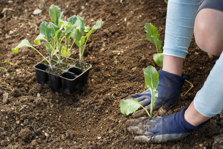 Gardener planting cauliflower seedlings in freshly ploughed garden beds. Organic gardening, healthy food, nutrition and diet, self-supply and housework concept.