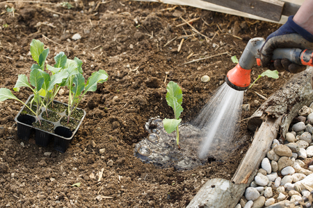 Gardener watering freshly planted seedlings in garden bed for growth boost with shower watering gun. Organic gardening, healthy food, nutrition and diet, self-supply and housework concept. Banco de Imagens - 120899322