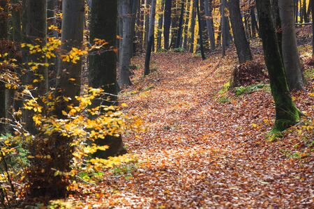 Autumn in the forest. Colourful leaves on the path thru the woods.