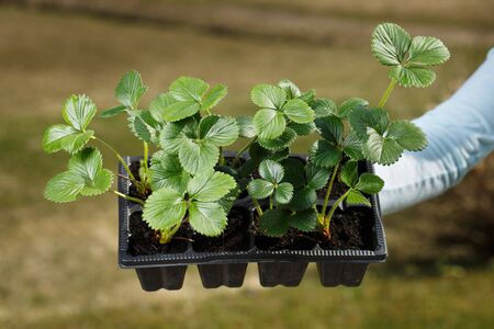 Young organic strawberry plants prepared to be planted on the garden. Organic gardening, healthy and homegrown food, self-supply concept. Banco de Imagens - 137598268
