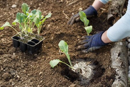 Gardener planting cauliflower seedlings in freshly ploughed garden beds. Organic gardening, healthy food, nutrition and diet, self-supply and housework concept. Banco de Imagens - 137598912