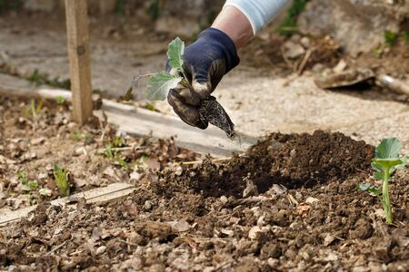 Gardener planting broccoli seedlings in freshly ploughed garden beds. Organic gardening, healthy food, nutrition and diet, self-supply and housework concept. Banco de Imagens - 137598998