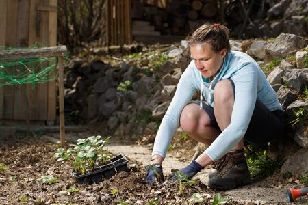 Gardener planting strawberry seedlings in freshly ploughed garden beds. Organic gardening, healthy food, nutrition and diet, self-supply and housework concept.
