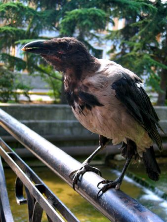Old beautiful raven