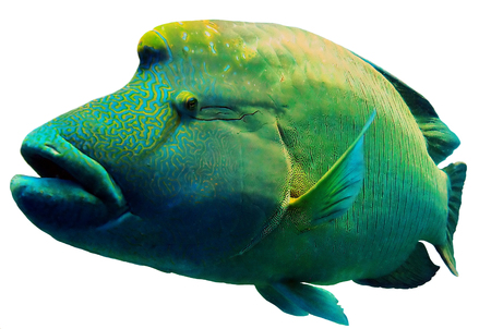 Close up of a Napoleon or Humphead Wrasse in the Red Sea. Banco de Imagens - 45327858