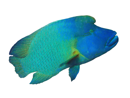 Close up of a Napoleon or Humphead Wrasse in the Red Sea. Banco de Imagens - 45327860