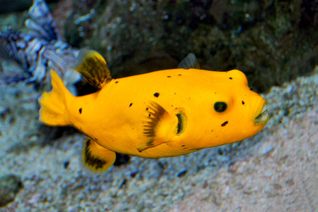 arothron: Black Spotted or Dog Faced Puffer fish Arothron nigropunctatus in Aquarium