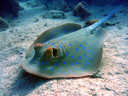 live coral: Bluespotted stingray taeniura lymma. Taken at Ras Mohammed in Sharm el Sheikh.