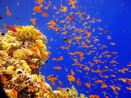 Flock of fish in a beautiful coral reef off the coast of Tiran Island in the Bay of Akuba, Egypt Stock Photo