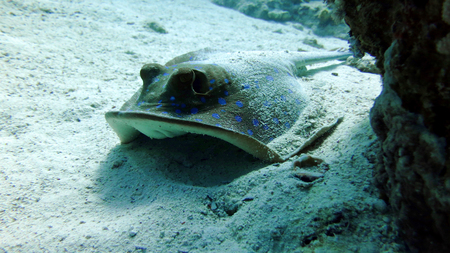 live coral: Bluespotted stingray taeniura lymma. Taken at Ras Mohammed in Sharm el Sheikh Stock Photo
