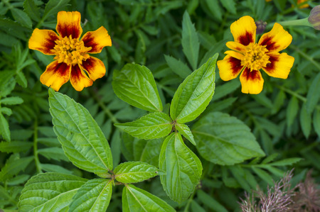 Zinnia flower - Vermilion, Yellow-Red aster flowering plant. Asteraceae flowers family. Dark-green background. Stock Photo