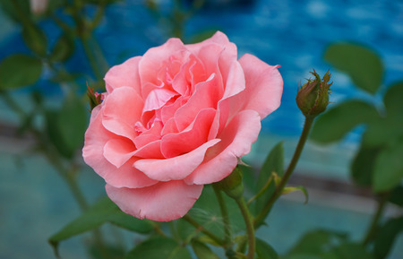rosa: Single pink rose on the blue background