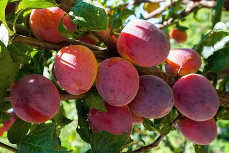 myrobalan: Cherry plum, myrobalan background green leaves and blue sky