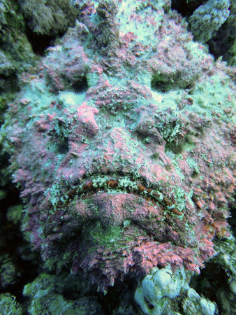 stonefish: Spotted Scorpionfish (scorpaena plumieri) on the coral reefs of Red sea in the Egypt Stock Photo