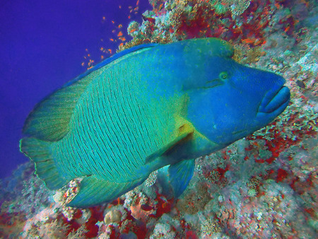Close up of a Napoleon or Humphead Wrasse in the Red Sea.