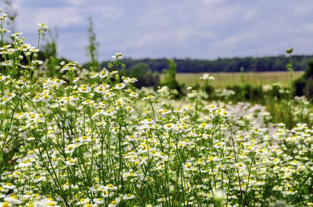 Chamomile flowers in the field - medicinal plant Matricaria recutita