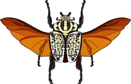 Goliathus albosignatus beetle. Vector illustration