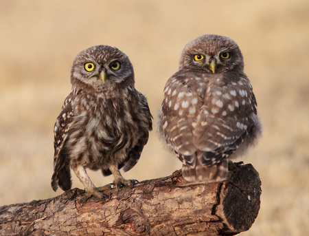 birds on branch: Two jung little owls (Athene noctua) sitting on the branch next to each other looking to camera. Wildlife birds. Hungary Hortobagy