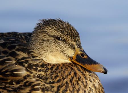A Portrait of a Female Mallard Duck