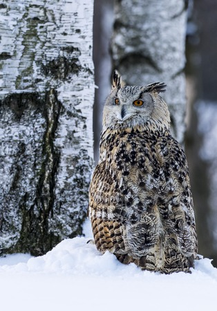 Big Eastern Siberian Eagle Owl
