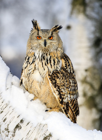 Big Eastern Siberian Eagle Owl