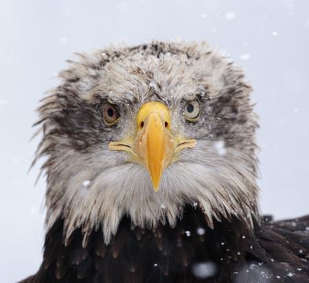 A beautiful american white-headed eagle portrait Stock Photo