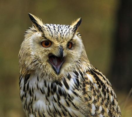 Siberian Eagle Owl 写真素材