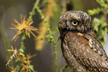 Eurasian scops owl (Otus scops) is a small owl. Photo taken on photo workshop. Reklamní fotografie