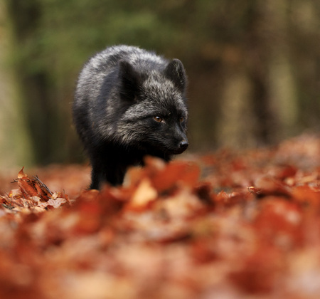 Black silver fox playing in autumn forest. Stock Photo