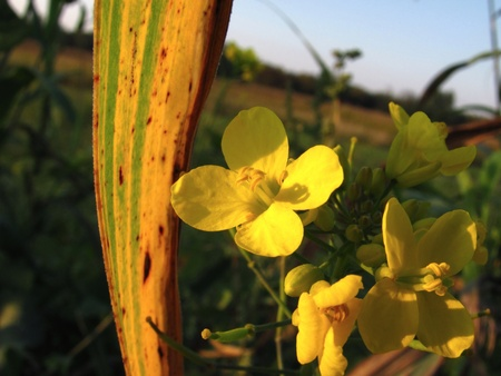 rapeseed with corn leaf Stock Photo - 10734050